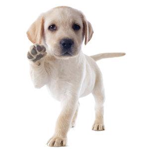 Muursticker Labrador