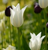 Tulpe  Tulipa 'White Triumphator'