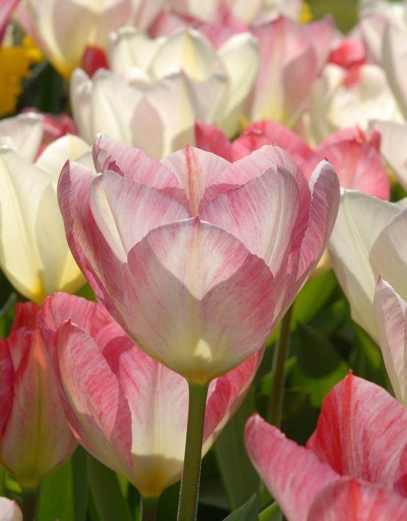 Tulpe  Tulipa 'Flaming Purissima'