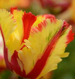 Tulpe  Tulipa 'Flaming Parrot'
