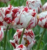 Tulpe Tulipa 'Carnaval de Nice'