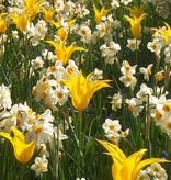 Tulpe Tulipa 'West Point'