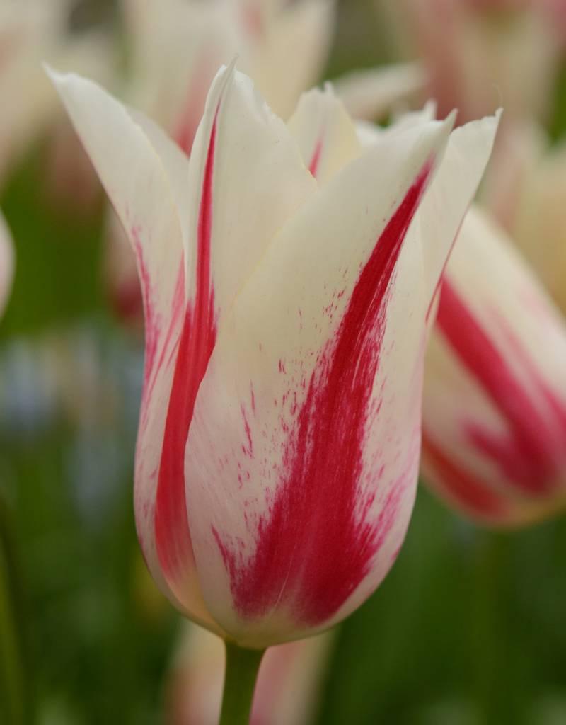 Tulpe Tulipa 'Marilyn'