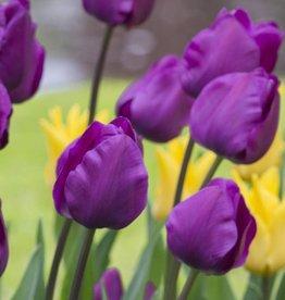 Tulpe Tulipa 'Negrita'