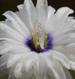 Buschwindröschen Anemone nemorosa 'Blue Eyes'