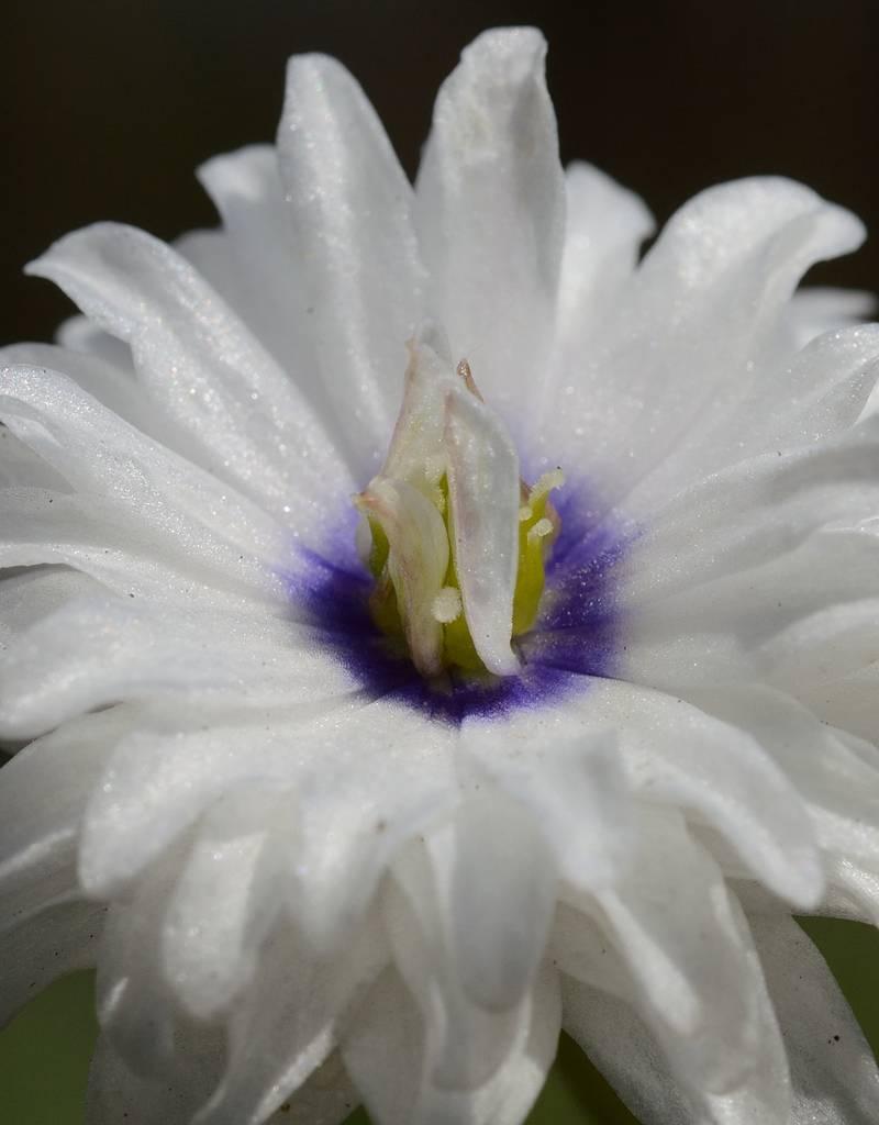 Buschwindröschen  Anemone nemorosa 'Blue Eyes' (Buschwindröschen) - Stinsenpflanze
