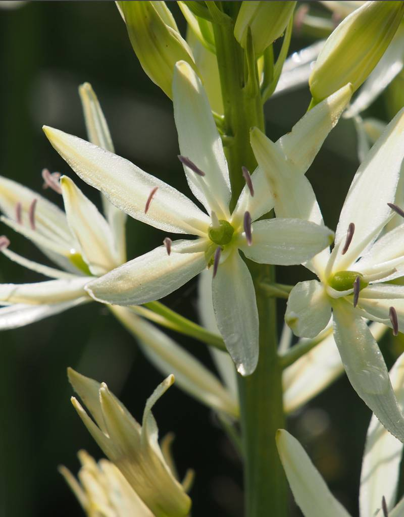 Prärielilie Camassia leichtlinii 'Sacajawea' (Prärielilie), BIO