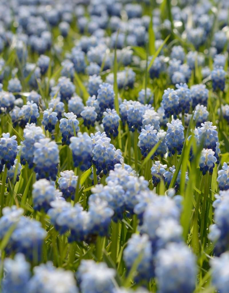 Traubenhyazinthe  Muscari 'Lady Blue', (Traubenhyazinthe), BIO