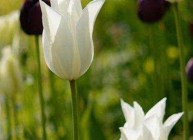 TULIPA - langstielige Tulpe