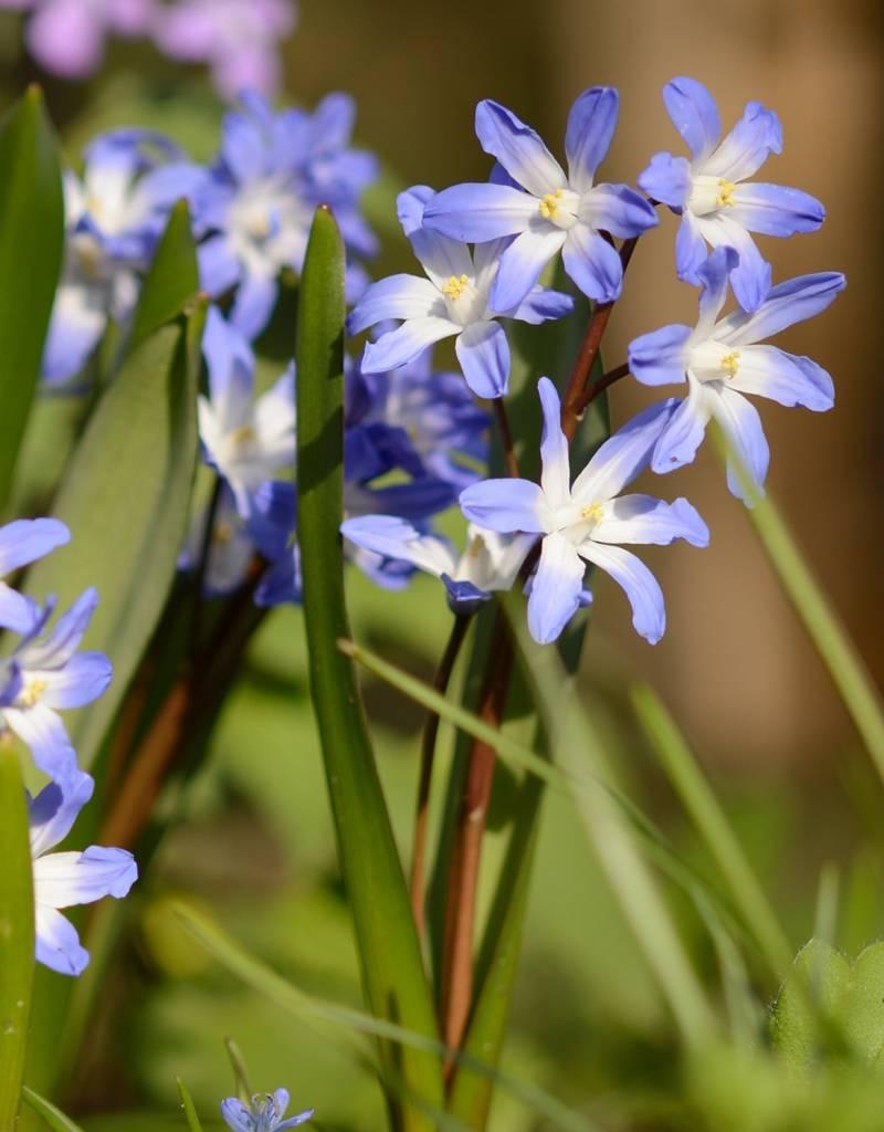 Schneeglanz Chionodoxa forbesii 'Blue Giant' (Schneeglanz), BIO