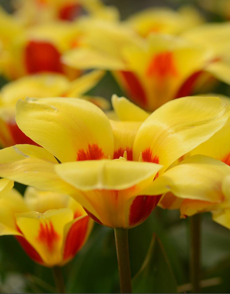 Tulpe  Tulipa ′Stresa′, BIO