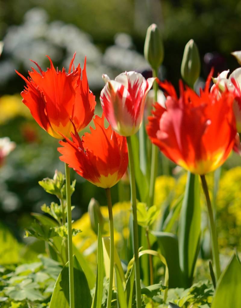 Tulpe Tulipa ′Leo′