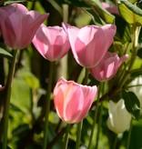 Tulpe Tulipa ′Mistress′