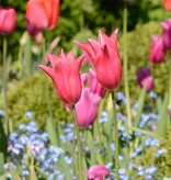 Tulpe Tulipa ′Jacqueline′