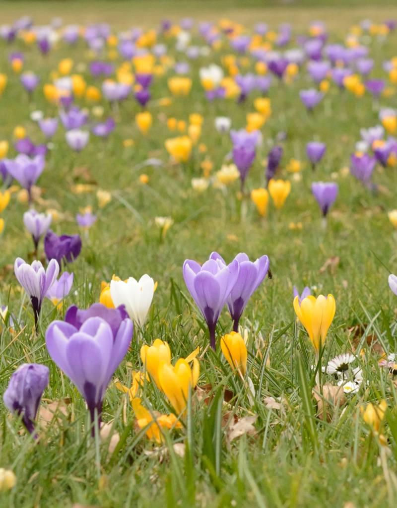 Krokus (Frühlings)  Crocus vernus 'Vanguard' (Frühlings-Krokus) – Stinsenpflanze, BIO