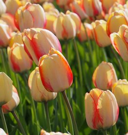 Tulpe Tulipa ′Beauty of Spring′, BIO