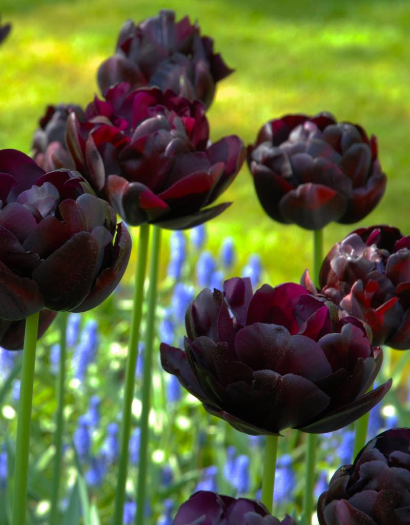 Tulpe  Tulipa 'Black Hero'