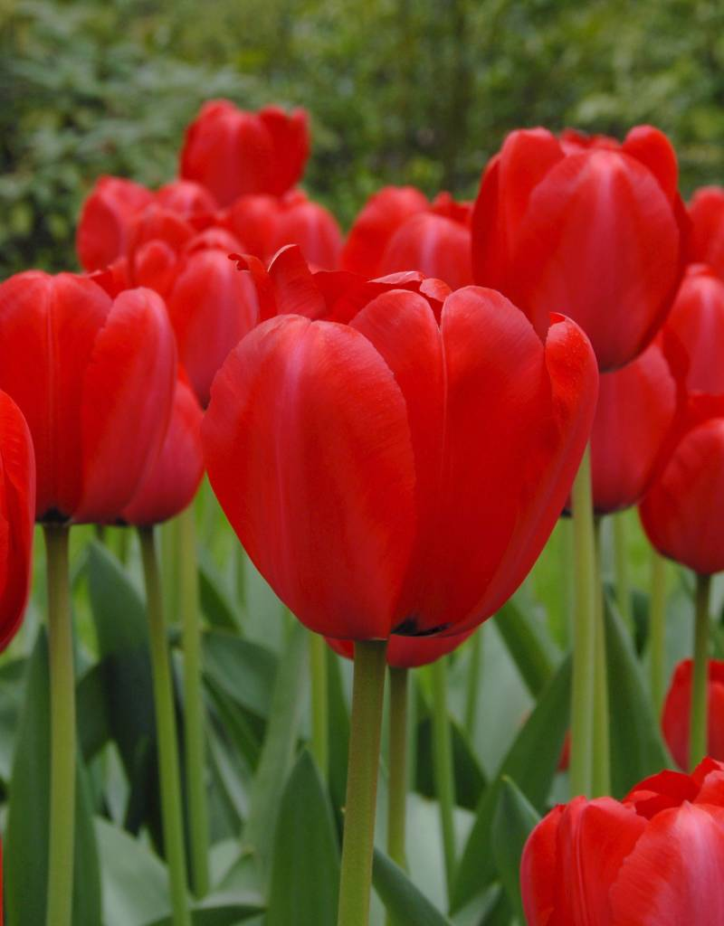 Tulpe Tulipa ′Red Impression′, BIO