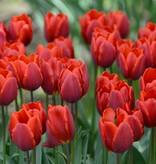 Tulpe Tulipa ′Couleur Cardinal′