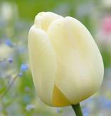 Tulpe Tulipa ′Ivory Floradale′