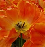 Tulpe  Tulipa ′Professor Röntgen′