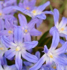 Schneeglanz (Gewöhnlicher ) Chionodoxa luciliae var. Gigantea