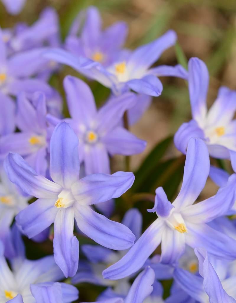 Schneeglanz (Gewöhnlicher ) Chionodoxa luciliae var. Gigantea  (Gewöhnlicher Schneeglanz)