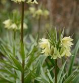 Kaiserkrone Fritillaria raddeana, Gelbe Kaiserkrone