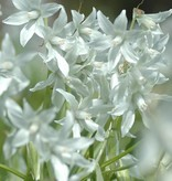 Vogelmilch (Nickende)  Ornithogalum nutans (Nickende Vogelmilch) - Stinsenpflanze - BIO