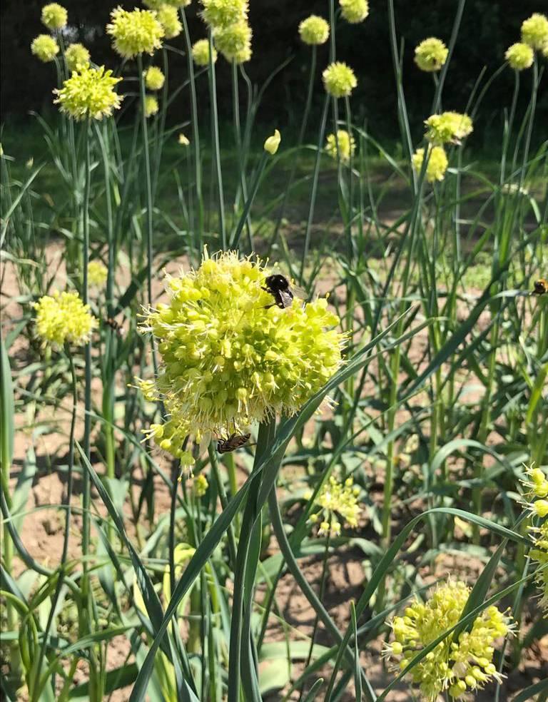 Lauch Allium obliquum