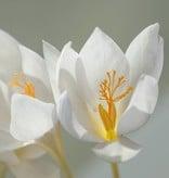 Krokus (Herbst) Crocus speciosus 'Albus'  (Pracht-Herbst-Krokus, Weiß)