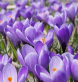 Krokus (Frühlings)  Crocus vernus 'Grand Maître' (Frühlings-Krokus)