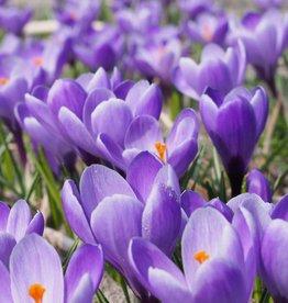 Krokus (Frühlings) Crocus vernus 'Grand Maître'