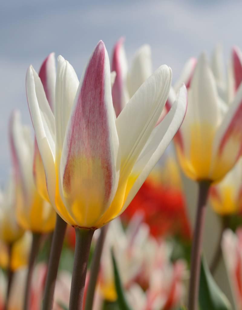 Tulpe (Wild) Tulipa kaufmanniana 'Ice Stick'