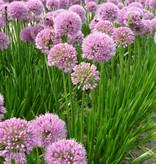 Lauch Allium 'Summer Beauty'