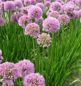 Lauch Allium 'Summer Beauty'
