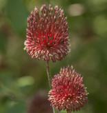 Zierlauch Allium amethystinum 'Red Mohican' (Zierlauch)
