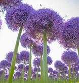 Zierlauch  Allium 'Globemaster' (Zierlauch)