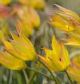 Tulpe (Wild)  Tulipa orphanidea 'Flava'