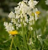 Hasenglöckchen (Atlantisches)  Hyacinthoides non-scripta weiss (Atlantisches Hasenglöckchen) - Stinsenpflanze - BIO