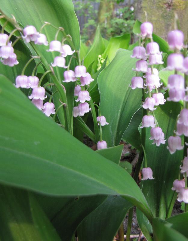 Maiglöckchen Convallaria majalis 'Rosea' (Maiglöckchen) - Stinsenpflanze