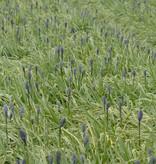Prärielilie Camassia quamash 'Blue Melody' (Prärielilie)