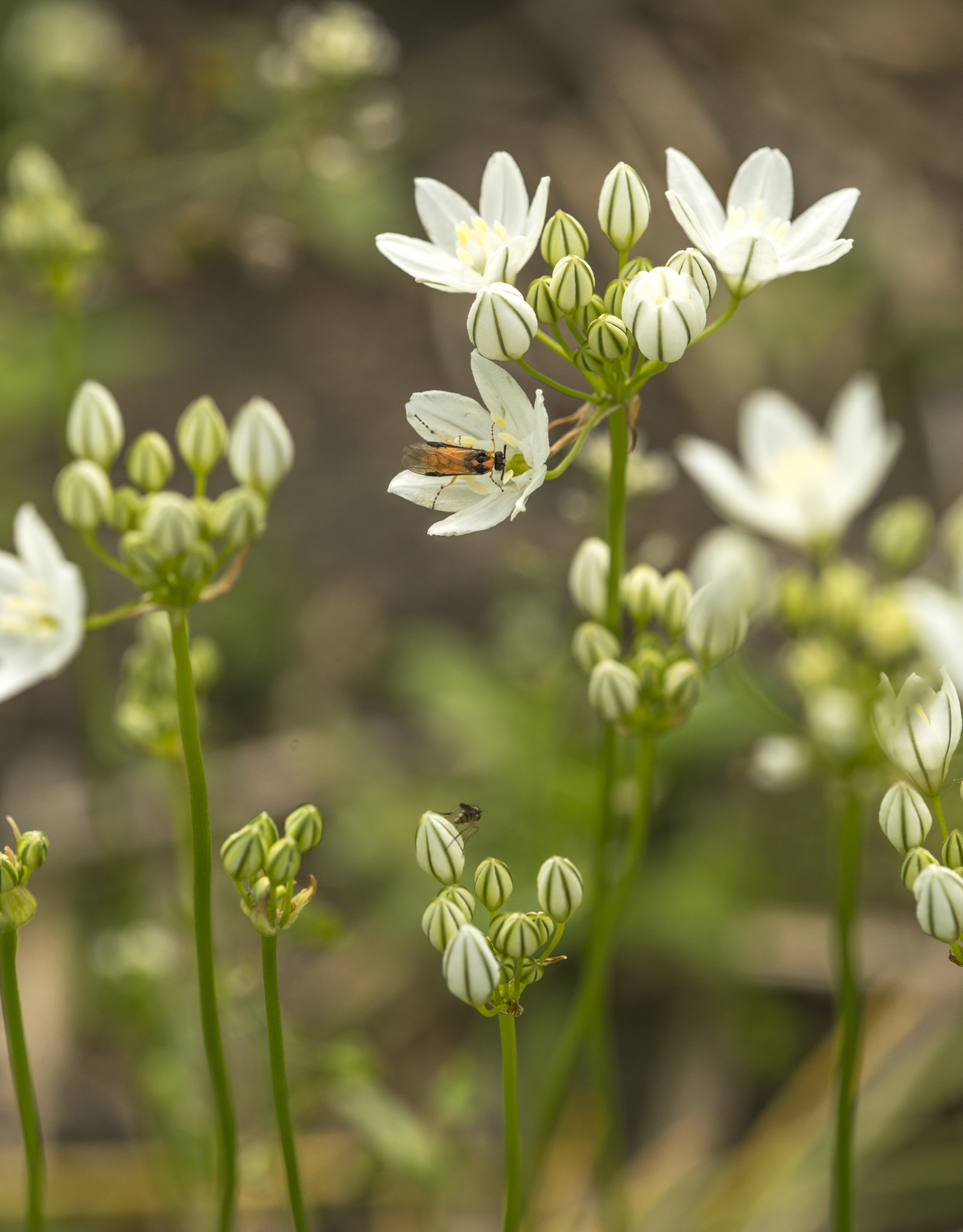 Triteleien  Triteleia hyacinthina (Triteleien)