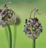 Lauch  Allium scorodoprasum  'Art' (Schlangen-Lauch)