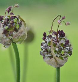 Lauch  Allium scorodoprasum  'Art'