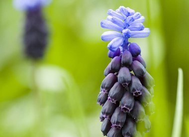 MUSCARI - Traubenhyazinthen