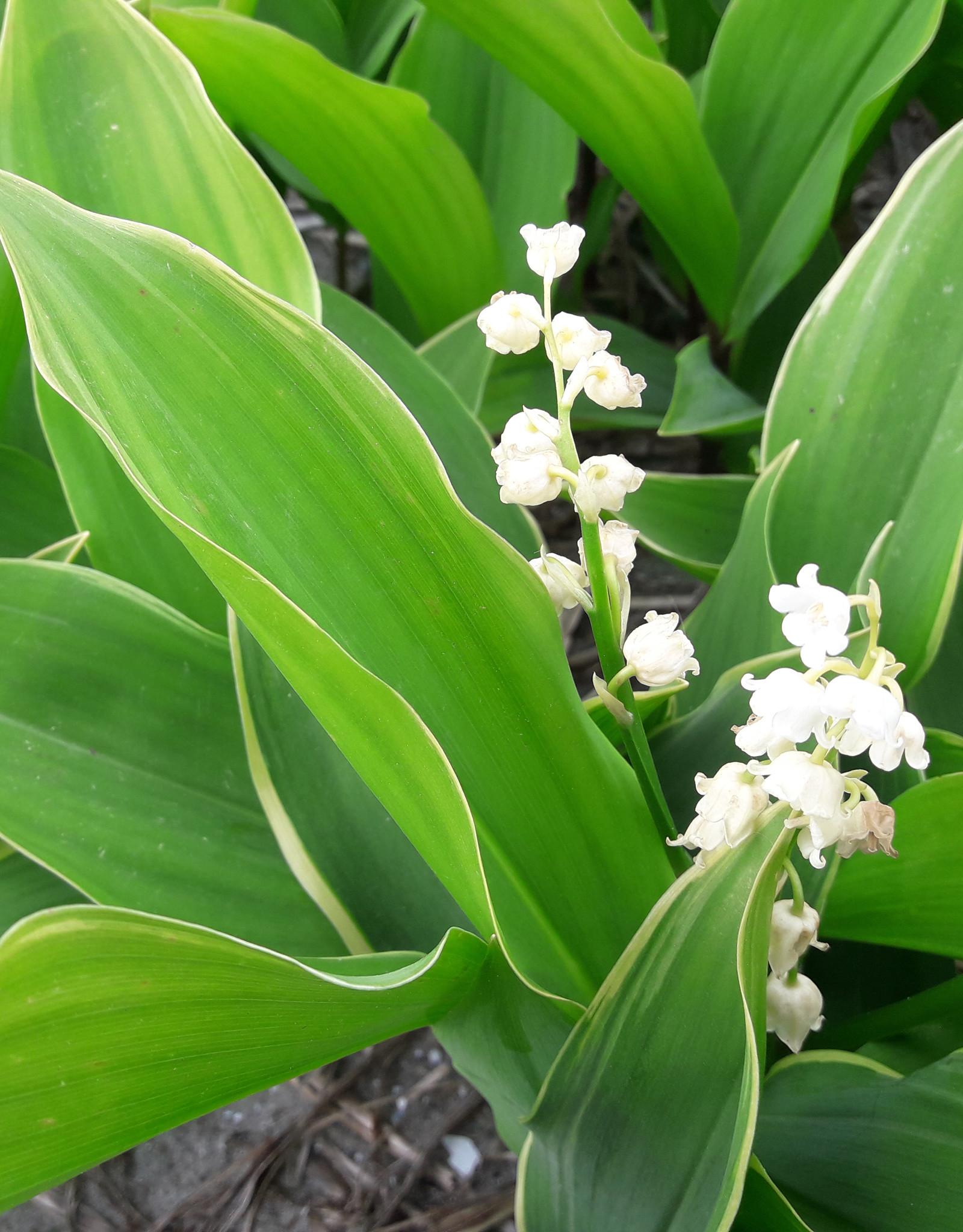 Maiglöckchen  Convallaria majalis 'Hofheim' (Maiglöckchen) - Stinsenpflanze