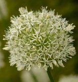 Zierlauch  Allium 'Mount Everest' ('Mount Everest' Lauch), BIO