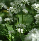 Lauch (Bärlauch) Allium ursinum (Bärlauch) - Stinsenpflanze - 90 Stück für 4m2
