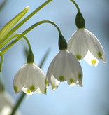 Sommer-Knotenblume  Leucojum aestivum 'Gravitye Giant' (Sommer-Knotenblume) - Stinsenpflanze